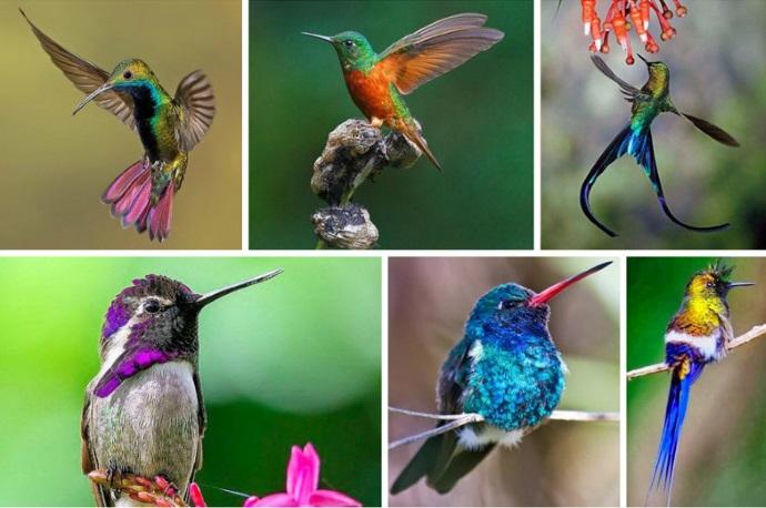 Колибри: невероятные факты о самой маленькой птице на Земле